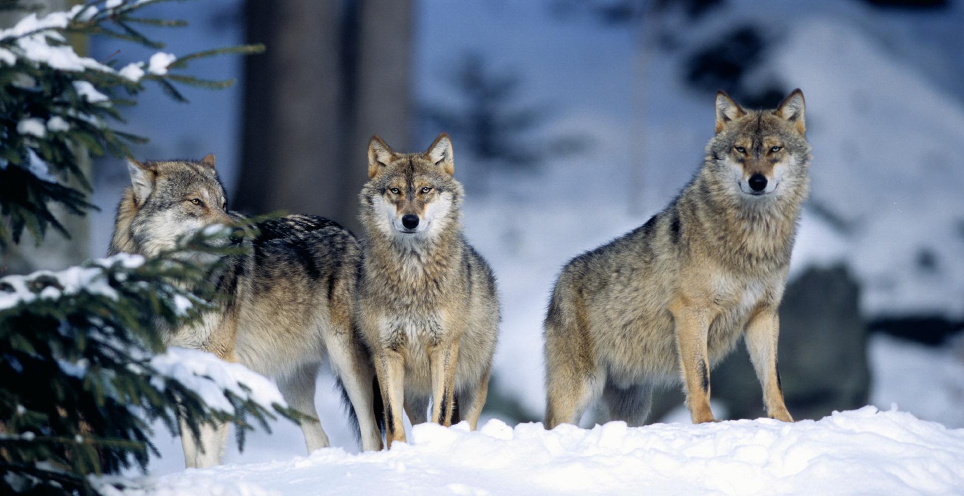 Wolfcom